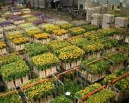 Holandia praca sezonowa przy kwiatach na magazynie 2014