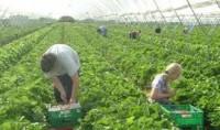 Fizyczna praca Niemcy przy zbiorach warzyw w szklarni bez znajomości języka
