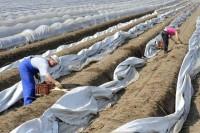 Niemcy praca sezonowa przy zbiorach szparagów od kwietnia bez języka 2014 Berlin