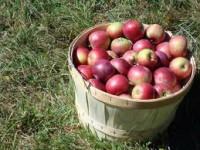 Dam fizyczną pracę w Belgii w sezonie 2014 przy zbiorach owoców z drzew owocowych