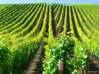 Dam pracę w Niemczech przy zbiorach winogron dla kobiet bez języka Tiengen