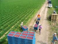 Oferta pracy w Niemczech przy zbiorze truskawek bez języka wakacje 2014 Anklam