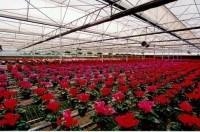 Dam pracę w Holandii dla kobiet bez języka w szklarni przy kwiatach 2014