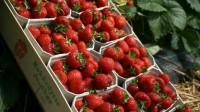 Oferta pracy w Niemczech przy zbiorach truskawek bez języka Lüdinghausen