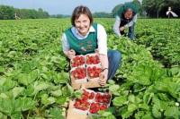 Od zaraz praca w Niemczech przy zbiorach truskawek bez języka Westrup