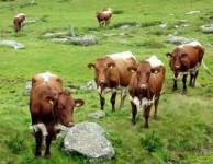 Francja praca fizyczna dla Polaków na farmie przy dojeniu krów sezon 2014