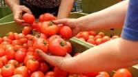 Praca Niemcy przy zbiorach pomidorów w szklarni bez znajomości języka 2014