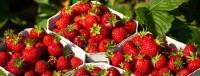 Oferta fizycznej pracy w Norwegii przy zbiorach owoców miękkich Hamar