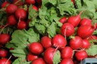 Fizyczna praca Francja przy zbiorach warzyw bez znajomości języka Guérande