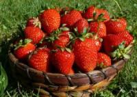 Oferta pracy w Holandii przy zbiorach truskawek bez znajomości języka Limburgia