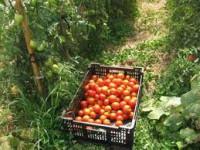 Zbiory praca Holandia przy pomidorach od zaraz Venlo-zbiór i pakowanie