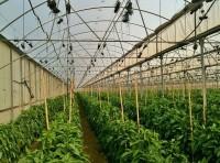Praca Norwegia bez języka przy zbiorach warzyw w szklarni Kongsberg