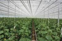Praca w Niemczech bez języka przy zbiorach warzyw w szklarni od zaraz Cottbus