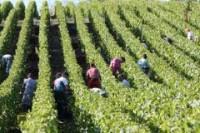 Francja praca bez języka przy zbiorach winogron-winobranie Bordeaux