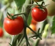 Oferta pracy w Holandii przy zbiorach pomidorów w szklarni od zaraz Venlo
