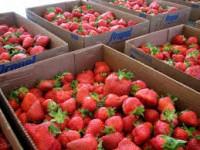 Dania praca przy zbiorach truskawek w szklarni bez znajomości języka 2014