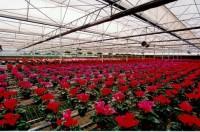 Holandia praca przy kwiatach w szklarni-uprawa, zbiory chryzantem Haga