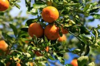 Hiszpania praca przy zbiorach owoców bez znajomości języka Algorfa