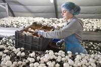 Sezonowa praca Niemcy bez znajomości języka przy zbiorach pieczarek