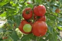Dam pracę w Norwegii bez języka zbiory pomidorów, papryki od zaraz Hamar