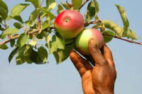Anglia praca dla studentów bez języka od zaraz przy zbiorach jabłek Crawley