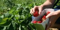 Dam pracę w Niemczech bez języka przy zbiorach owoców dla kobiet Rheine