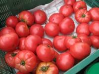 Dam pracę w Holandii przy zbiorach pomidorów dla kobiet od zaraz bez języka