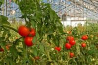 Oferta pracy w Holandii w ogrodnictwie przy pomidorach Rotterdam od zaraz