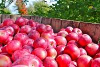 Praca Niemcy na wakacje od zaraz zbiory jabłek bez znajomości języka Cottbus