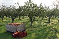 Oferta fizycznej pracy w Holandii przy zbiorach jabłek w sadzie Emmeloord