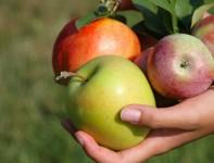 Sezonowa praca Niemcy bez języka w sadzie zbiory jabłek od zaraz Cottbus