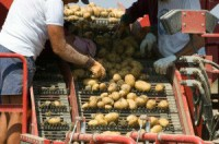 Praca Dania na produkcji przy sortowaniu ziemniaków bez języka Ribe