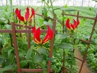 Dam pracę w Anglii od zaraz w ogrodnictwie przy kwiatach w szklarni Ledbury