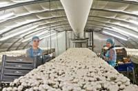 Praca w Holandii przy zbiorach pieczarek Groningen bez języka od zaraz