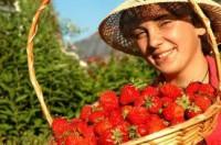 Dam sezonową pracę w Niemczech przy zbiorach truskawek bez języka Schmilau