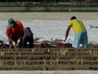 Sezonowa praca w Niemczech dla Polaków przy zbiorach szparagów 2015
