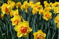 Dam pracę w Anglii bez znajomości języka przy kwiatach-zbiory żonkili Boston