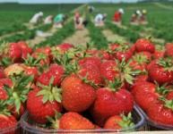 Oferta sezonowej pracy w Anglii zbiory truskawek bez języka Canterbury