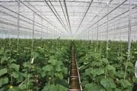 Oferta pracy w Holandii od zaraz przy zbiorach ogórków bez języka szklarnia w Lelystad