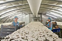 Bez znajomości języka praca Holandia w Eindhoven przy zbiorach pieczarek
