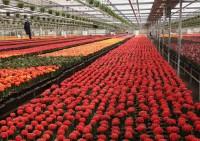 Praca w Holandii w ogrodnictwie przy kwiatach w Klazienaveen