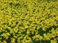 Bez języka praca Holandia w Aalsmeer w ogrodnictwie przy kwiatach od zaraz