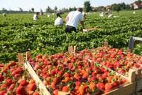 Praca w Anglii przy zbiorach owoców – truskawek bez języka od maja/czerwca