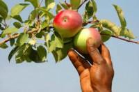 Bez języka sezonowa praca w Niemczech przy zbiorach jabłek Rostock 2015