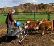 Praca w Anglii przy dojeniu krów w rolnictwie od zaraz dla Polaków Llanelli