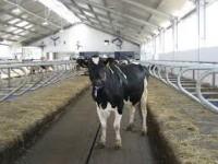 Sezonowa praca we Francji jako pomoc na farmie przy hodowli bydła