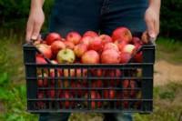 Dam pracę w Anglii przy zbiorach owoców bez znajomości języka Canterbury