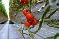 Oferta sezonowej pracy w Holandii przy zbiorach pomidorów bez języka Goes