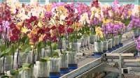 Ogrodnictwo praca w Holandii przy kwiatach w szklarni bez znajomości języka