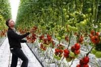 Holandia praca w szklarniach od zaraz przy papryce, pomidorach Leeuwarden